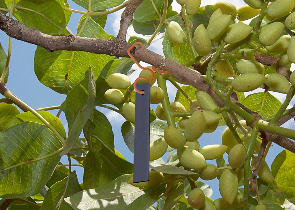 CIDETRAK NOW MESO lure in Pistachio tree